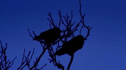 blue-crows
